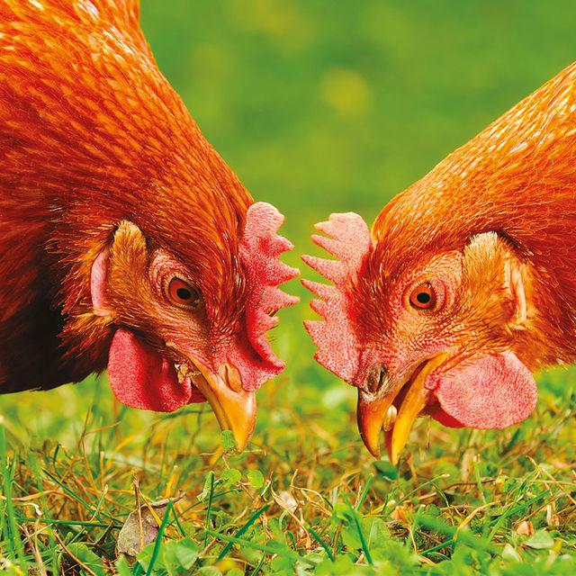 Deux poules.