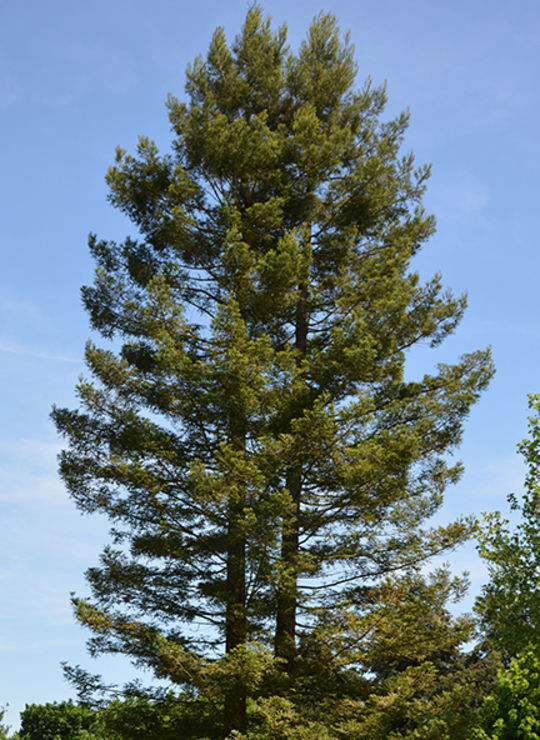 Séquoia à feuilles d'if