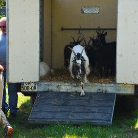 Arrivée des chèvres à Jaumeron