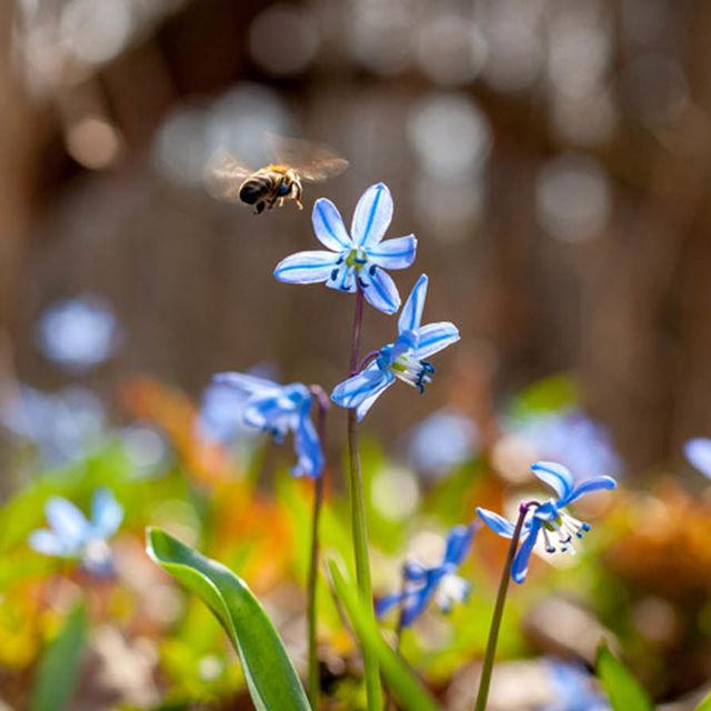 Abeille butine des fleurs