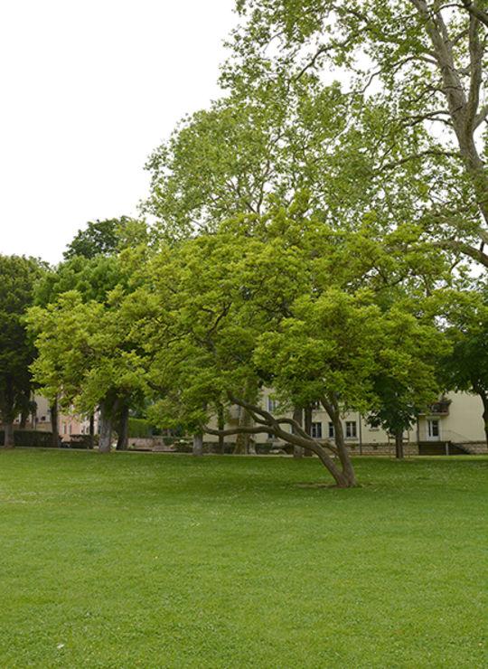 Magnolia de Soulange Bodin